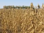 Soybeans September 29th