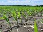 Corn June 12, Planted May 7