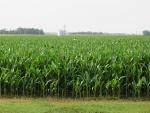 Corn July 2, Planted April 30