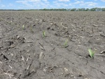 Corn May 17, Planted April 22
