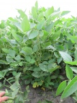 Soybeans August 1, Planted May 5