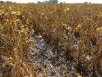 Black Beans Sept 14, Planted June 2