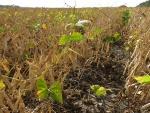 Black Beans Sept 14, Planted June 1